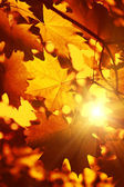 Branch of autumn maple foliage with sunlight — Stock Photo