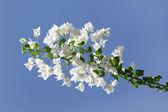 Buganvillas florecientes blancas contra el cielo azul — Foto de Stock