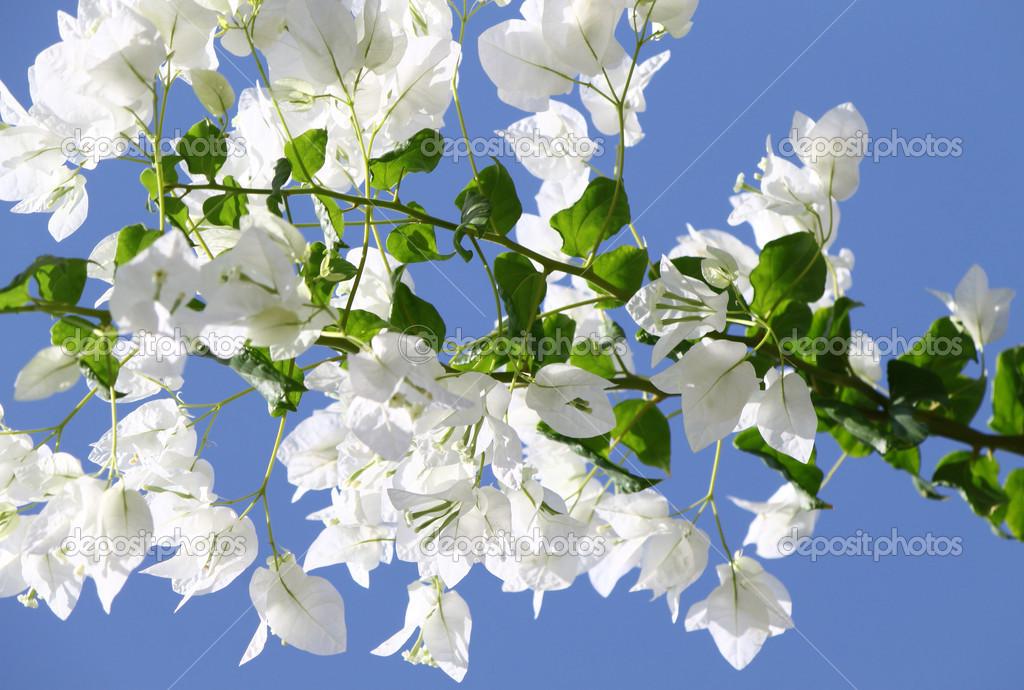 Buganvillas florecientes blancas contra el cielo azul - Fotos de buganvillas ...