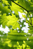 Branch of green maple with water ripples — Stock Photo