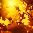Branch of autumn maple foliage with sunlight — Stock Photo #15408517