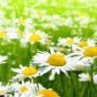 Beautiful chamomile flowers — Stock Photo