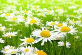 Beautiful chamomile flowers — Stock Photo