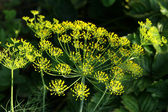 Dill flower — Stock Photo