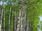 Beautiful spring birch — Stock Photo