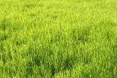 Fond vert herbe ensoleillé — Photo