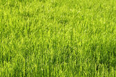 Green sunny grass background — Stock Photo