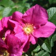 Dog Roses — Stock Photo