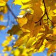 Branch of yellow autumn maple — Stock Photo