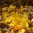 Stock Photo: Beautiful fall foliage of maple tree