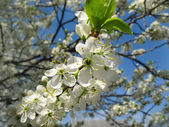 Branch of a flowering fruit tree — Stock Photo