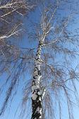 Trunk of birch — Stock Photo