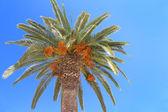 Palm tree with orange fruits on blue sky    — Stock Photo