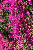 Beautiful bougainvillea flowers — Stock Photo