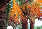 Branch of palm with bright fruits — Foto Stock