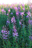 Wild flower Willow-herb in the evening field — Stock Photo