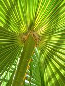 Blatt der palme — Stockfoto