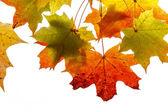 Bright autumn foliage of maple — Zdjęcie stockowe