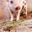 Close-up of a cute muddy piglet running around outdoors on the f — Stock Photo #13303432