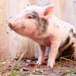 Close-up of a cute muddy piglet running around outdoors on the f — Stock Photo #13303440