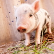 Royalty-Free Stock Photo: Close-up of a cute muddy piglet running around outdoors on the f