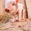 Close-up of a cute muddy piglet running around outdoors on the f - Stock Photo