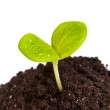 Heap dirt with a green plant sprout isolated — Stock Photo