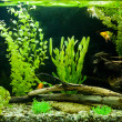 Tropical freshwater aquarium — Stock Photo #13559624