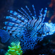 The lionfish in the aquarium — Stock Photo