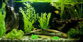 Tropical freshwater aquarium — 图库照片