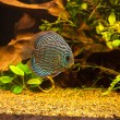 Aquarium with tropical fish of the Symphysodon discus spieces - Stock Photo