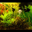 Freshwater aquarium with fish pterophyllum scalare — Stock Photo #13866559