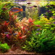 Ttropical freshwater aquarium with fishes - Stock Photo