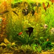 Ttropical freshwater aquarium with fishes — Stock Photo #13866682