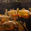 Shoal of piranhfishes in aquarium — Stock Photo #13866731