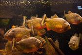 Shoal van piranha vissen in een aquarium — Stockfoto