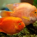 Tropical freshwater aquarium — Stock Photo #14081449