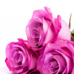 Three fresh pink roses over white background — Stock Photo