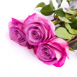 Three fresh pink roses over white background — Stock Photo