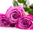 Stock Photo: Three fresh pink roses over white background