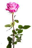 白い背景の上の 1 つの新鮮なピンクのバラ — ストック写真