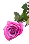 One fresh pink rose over white background — Stock Photo