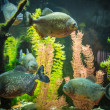 Shoal of tropical piranhfishes in freshwater aquarium — Stock Photo #19180645