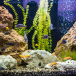 Ttropical freshwater aquarium with fishes — Stock Photo #19180661