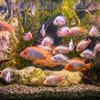 Royalty-Free Stock Photo: Ttropical freshwater aquarium with fishes