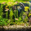 Ttropical freshwater aquarium with fishes — Stock Photo #19180739
