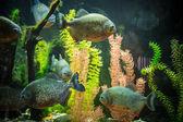 Shoal of tropical piranha fishes in freshwater aquarium — Стоковое фото