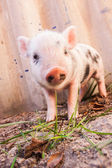 Close-up of a cute muddy piglet running around outdoors on the farm. — Stock Photo