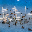 A lot of ducks, swans on the lake - Stock Photo