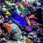 Tropikalna ryba akwarium na rafy koralowej — Zdjęcie stockowe #23265088